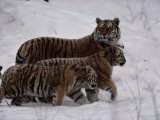 Siberian Tigers (Panthera Tigris Altaica) in the Snow Photographic Print by Michael Nichols