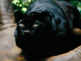 A Rare Black Leopard in Jungle World at the Bronx Zoo Photographic Print by Michael Nichols