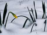 Spring Snow Coats New Daffodils Photographic Print by George F. Mobley