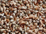 A Sea of Conch Shells Covers the Beach on Margarita Island Photographic Print by Wolcott Henry
