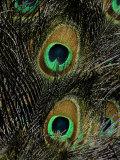 Gros plan des yeux de plumes de paon Photographie par Tim Laman