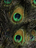 A Close View of the Eyes of Several Peacock Feathers Photographic Print by Tim Laman