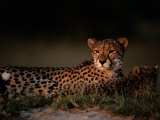 A Portrait of an African Cheetah and Her Cub Relaxing in the Sun Photographic Print by Chris Johns