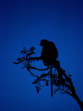 Silhouetted Proboscis Monkey (Nasalis Larvatus) Photographic Print by Mattias Klum