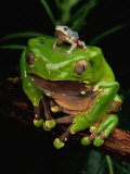 A Frog Perched on a Branch with a Baby Frog on its Back Photographic Print by George Grall
