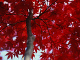 Close View of Red Maple Leaves Fotografie-Druck von Al Petteway