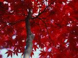 Close View of Red Maple Leaves Fotodruck von Al Petteway