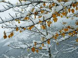 View of Snow-Laden Poplar Branches Photographic Print by Raymond Gehman