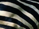 A Close View of the Stripes of a Grants Zebra Photographic Print by Tim Laman