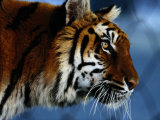 Close View of a Young Indian Tiger Photographic Print by Michael Nichols