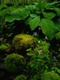Blue Violets, Mosses, and Skunk Cabbage in a Red Maple Swamp Lmina fotogrfica por Raymond Gehman