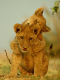 Two African Lion Cubs Playing Photographic Print by Beverly Joubert
