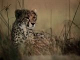 A Portrait of an African Cheetah Resting in the Tall Grass Photographie par Chris Johns
