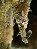 Male Sea Horse with Young Sitting on its Snout after Birth Photographic Print by George Grall