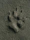Wolf Track, Firth River, Yukon Territory Fotografisk trykk av Michael Melford