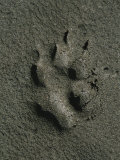 Wolf Track, Firth River, Yukon Territory Photographic Print by Michael Melford