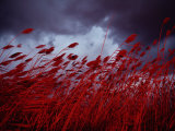 Red Sea Oats Blow in the Wind Photographic Print by Medford Taylor