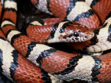 Extreme Close-up of a Milk Snake in the Dry Season Photographic Print by George Grall