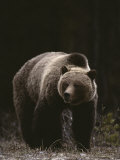 Grizzly Bear Viewed from the Front Photographic Print by Michael S. Quinton