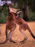 Two Kangaroos Spar with One Another Photographic Print by Medford Taylor
