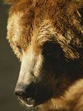 A Close View of the Face of a Grizzly Bear Fotografisk tryk af Tom Murphy
