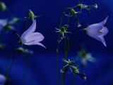 Raymond Gehman - Bluebell Flowers on the Trail to Valley of the Five Lakes Fotografická reprodukce