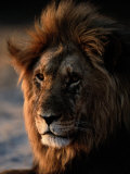 Male African Lion Photographic Print by Beverly Joubert