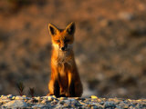 Portrait of a Young Red Fox Fotografisk tryk af Norbert Rosing