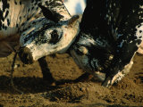 Close View of Two Big Bulls Locking Heads Photographic Print by James L. Stanfield