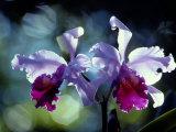 Orkidéer Fotografiskt tryck av Medford Taylor
