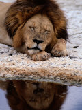 A Male Lion Sleeps Peacefully Near a Water Hole Photographic Print by Tim Laman