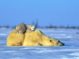 Polar Bear with Young Fotografisk trykk av Norbert Rosing