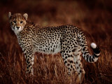 Light Reflects in the Eye of an African Cheetah Photographic Print by Chris Johns