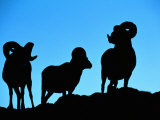 Silhouettes of a Trio of Bighorn Rams Photographic Print by Raymond Gehman