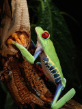 A Red-Eyed Tree Frog Photographic Print by George Grall