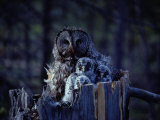 Close View of a Great Gray Owl Sheltering Her Owlets Photographic Print by Michael S.Quinton