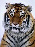 A Siberian Tiger at the Minnesota Zoological Garden Fotografisk tryk af Michael Nichols