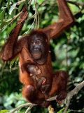A Baby Orangutan Clings to its Mother While She Perches on a Branch Photographic Print by Tim Laman