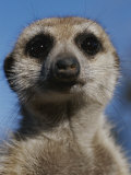 A Close View of a Meerkat (Suricata Suricatta) Fotografisk tryk af Mattias Klum