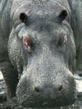 Hippopotamus Photographic Print by Beverly Joubert