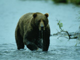 A Kodiak Brown Bear Emerges from the Water Photographic Print by George F. Mobley