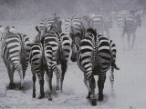 Zebras Kick up a Dust Storm as They Head out of the Area Photographic Print by Bobby Model