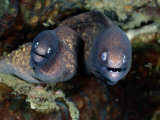 A Close-View of a Pair of Moray Eels Fotodruck von Wolcott Henry