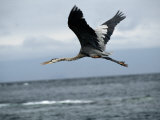 A Great Blue Heron Flying over the Ocean Photographic Print by Tim Laman