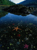 Low Tide Reveals a Galaxy of Bat Stars and Other Sea Creatures Photographie par Raymond Gehman