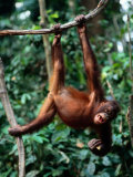 A Juvenile Orangutan Swings from a Vine Photographic Print by Tim Laman