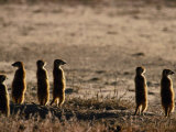 Meerkats Photographic Print by Nicole Duplaix