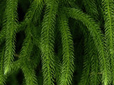 Close-up of a Club Moss Photographic Print by Chris Johns