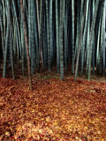 Autumn Leaves Litter the Ground Beneath Bamboo Shoots Photographic Print by Sam Abell