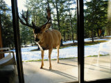 A Curious Mule Deer Peers Inside a Hotel Room in Banff Photographic Print by Raymond Gehman